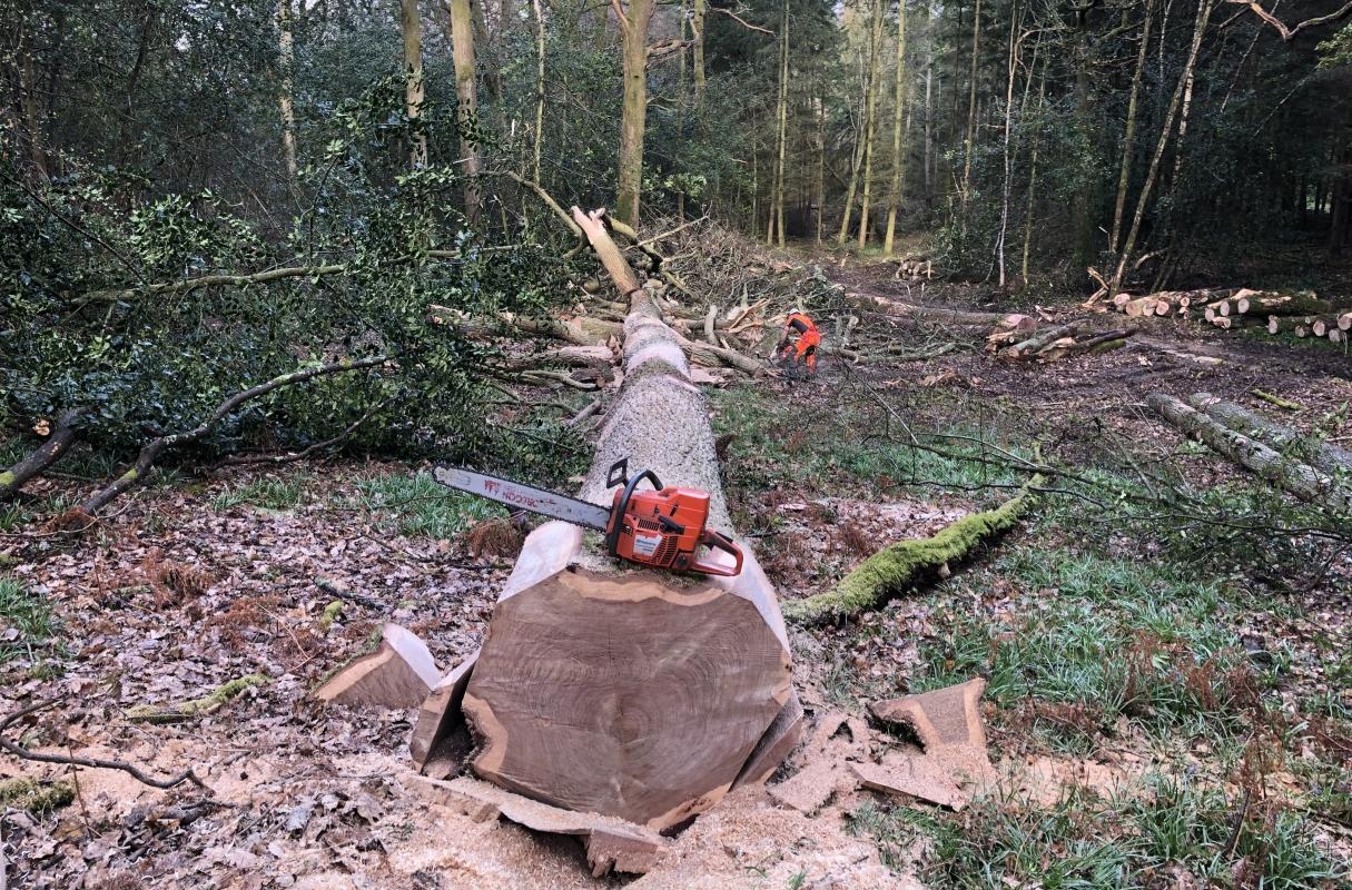 Felling Oak in Surrey